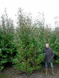 Kirschlorbeer 'Caucasica' / Prunus laurocerasus 'Caucasica' 350-400 cm Solitär mit Drahtballierung