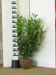 Kirschlorbeer 'Caucasica' / Prunus laurocerasus 'Caucasica' 80-100 cm mit Ballierung