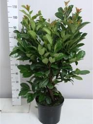 Kirschlorbeer 'Etna' / Prunus laurocerasus 'Etna' 60-80 cm im 7-Liter Container
