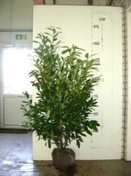 Kirschlorbeer 'Herbergii' / Prunus laurocerasus 'Herbergii' 125-150 cm mit Ballierung
