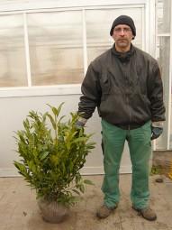 Kirschlorbeer 'Herbergii' / Prunus laurocerasus 'Herbergii' 60-80 cm mit Ballierung