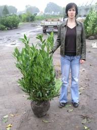 Kirschlorbeer 'Herbergii' / Prunus laurocerasus 'Herbergii' 80-100 cm mit Ballierung