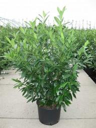 Prunus laurocerasus 'Herbergii' / Kirschlorbeer 'Herbergii' 100-125 cm im 20-Liter Container