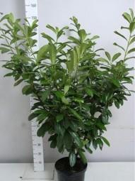 Kirschlorbeer 'Novita' / Prunus laurocerasus 'Novita' 100-125 cm im 10-Liter Container