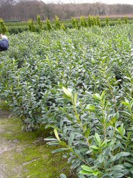Kirschlorbeer 'Novita' / Prunus laurocerasus 'Novita' 100-125 cm mit Ballierung