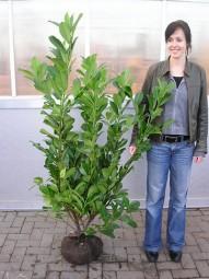 Kirschlorbeer 'Novita' / Prunus laurocerasus 'Novita' 125-150 cm mit Ballierung