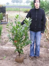 Kirschlorbeer 'Novita' / Prunus laurocerasus 'Novita' 80-100 cm mit Ballierung
