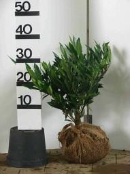 Breitwüchsiger Kirschlorbeer 'Otto Luyken' / Prunus laurocerasus 'Otto Luyken' 30-40 cm mit Ballierung
