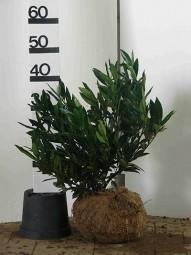 Breitwüchsiger Kirschlorbeer 'Otto Luyken' / Prunus laurocerasus 'Otto Luyken' 40-50 cm mit Ballierung
