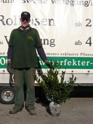 Breitwüchsiger Kirschlorbeer 'Otto Luyken' / Prunus laurocerasus 'Otto Luyken' 50-60 cm mit Ballierung