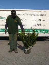 Breitwüchsiger Kirschlorbeer 'Otto Luyken' / Prunus laurocerasus 'Otto Luyken' 60-80 cm mit Ballierung