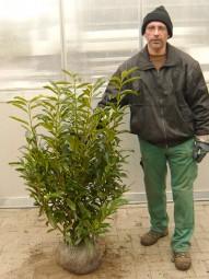 Kirschlorbeer 'Reynvaanii' / Prunus laurocerasus 'Reynvaanii' 100-125 cm Solitär mit Ballierung