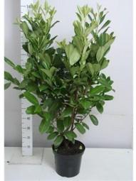 Großblättriger Kirschlorbeer 'Rotundifolia' / Prunus laurocerasus 'Rotundifolia' 100-125 cm im 10-Liter Container