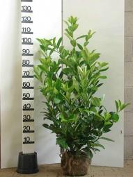 Großblättriger Kirschlorbeer 'Rotundifolia' / Prunus laurocerasus 'Rotundifolia' 100-125 cm mit Ballierung
