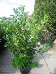 Großblättriger Kirschlorbeer 'Rotundifolia' / Prunus laurocerasus 'Rotundifolia' 125-150 cm im 25-Liter Container