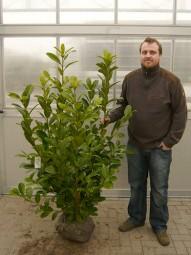 Großblättriger Kirschlorbeer 'Rotundifolia' / Prunus laurocerasus 'Rotundifolia' 125-150 cm mit Ballierung