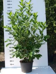 Großblättriger Kirschlorbeer 'Rotundifolia' / Prunus laurocerasus 'Rotundifolia' 150-175 cm im 20-Liter Container