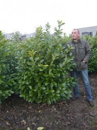 Großblättriger Kirschlorbeer 'Rotundifolia' / Prunus laurocerasus 'Rotundifolia' 150-175 cm Solitär mit Drahtballierung