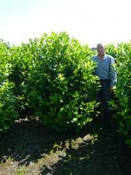 Großblättriger Kirschlorbeer 'Rotundifolia' / Prunus laurocerasus 'Rotundifolia' 175-200 cm Solitär mit Drahtballierung