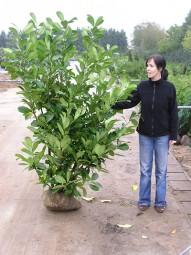 Großblättriger Kirschlorbeer 'Rotundifolia' / Prunus laurocerasus 'Rotundifolia' 175-200 cm mit Ballierung