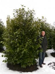 Großblättriger Kirschlorbeer 'Rotundifolia' / Prunus laurocerasus 'Rotundifolia' 250-300 cm Solitär mit Drahtballierung