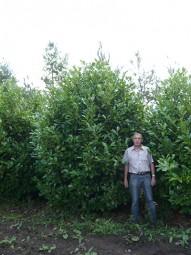 Großblättriger Kirschlorbeer 'Rotundifolia' / Prunus laurocerasus 'Rotundifolia' 350-400 cm Solitär mit Drahtballierung