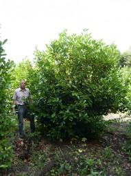 Großblättriger Kirschlorbeer 'Rotundifolia' / Prunus laurocerasus 'Rotundifolia' 400-450 cm Solitär mit Drahtballierung