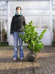 Großblättriger Kirschlorbeer 'Rotundifolia' / Prunus laurocerasus 'Rotundifolia' 80-100 cm mit Ballierung