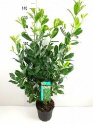 Großblättriger Kirschlorbeer 'Rotundifolia' / Prunus laurocerasus 'Rotundifolia' 100-125 cm im 7-Liter Container