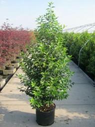 Portugiesischer Kirschlorbeer / Prunus lusitanica 'Angustifolia' 150-175 cm im 20-Liter Container