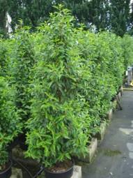 Portugiesischer Kirschlorbeer / Prunus lusitanica 'Angustifolia' 175-200 cm im 20-Liter Container