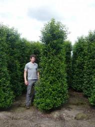 Portugiesischer Kirschlorbeer / Prunus lusitanica 'Angustifolia' 300-350 cm Solitär mit Drahtballierung