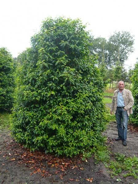 Portugiesischer Kirschlorbeer portugiesischer kirschlorbeer prunus lusitanica angustifolia 350