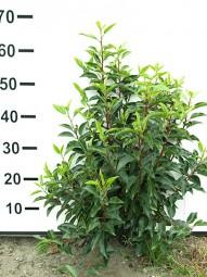 Portugiesischer Kirschlorbeer / Prunus lusitanica 'Angustifolia' 50-60 cm mit Ballierung