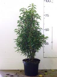 Portugiesischer Kirschlorbeer / Prunus lusitanica 'Angustifolia' 80-100 cm im 7-Liter Container