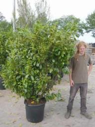 Großblättriger Kirschlorbeer 'Rotundifolia' / Prunus laurocerasus 'Rotundifolia' 175-200 cm im 70-Liter Container