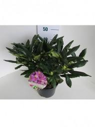 Rhododendron 'Roseum Elegans' / Rhododendron Hybride 'Roseum Elegans' 30-40 cm im 5-Liter Container