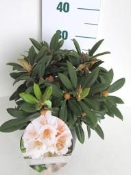 Rhododendron 'Cunningham's White' / Rhododendron Hybride 'Cunningham's White' 30-40 cm im 5-Liter Container