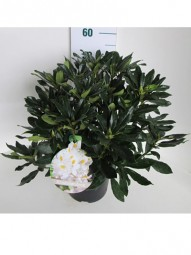 Rhododendron 'Scyphocalix' / Rhododendron Hybride 'Scyphocalix' 40-50 cm im 7-Liter Container