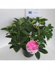 Rhododendron 'Roseum Elegans' / Rhododendron Hybride 'Roseum Elegans' 40-50 cm im 7-Liter Container