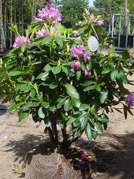 Rhododendron 'Roseum Elegans' / Rhododendron Hybride 'Roseum Elegans' 80-90 cm mit Ballierung