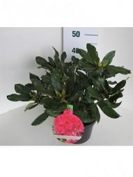 Rhododendron 'Nova Zembla' / Rhododendron Hybride 'Nova Zembla' 40-50 cm im 7-Liter Container