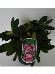 Rhododendron 'Horizon Monarch' / Rhododendron Hybride 'Horizon Monarch' 20-30 cm im 2-Liter Container
