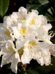 Rhododendron 'Cunningham's White' / Rhododendron Hybride 'Cunningham's White' 120 - 140 cm Solitär mit Ballierung