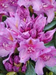 Rhododendron 'Lee's Dark Purple' / Rhododendron Hybride 'Lee's Dark Purple' 90-100 cm breit mit Ballierung