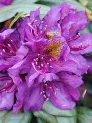 Rhododendron 'Marcel Menard' / Rhododendron Hybride 'Marcel Menard' 100-120 cm Solitär mit Ballierung