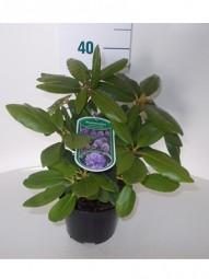 Rhododendron 'Roseum Elegans' / Rhododendron Hybride 'Roseum Elegans' 20-30 cm im 2-Liter Container