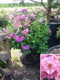 Rhododendron 'Scintillation' / Rhododendron Hybride 'Scintillation' 70-80 cm mit Ballierung
