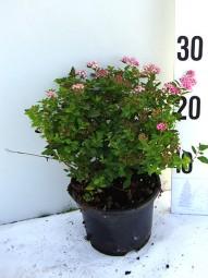 Rosa Zwerg-Spiere / Spiraea japonica 'Little Princess' 25-30 cm im 1-Liter Container
