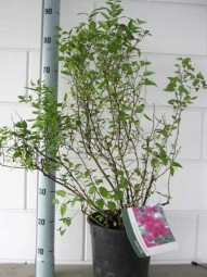 Rote Japan-Spiere / Sommerspiere / Spiraea japonica 'Anthony Waterer' 40-50 cm im 7-Liter Container